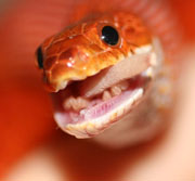 bloodred corn snake eating mouse