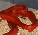 Bloodred Stripe Corn Snake Adult