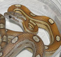 Caramel Motley Corn Snake Yearling