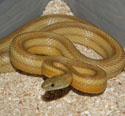 Caramel Stripe Corn Snake Adult