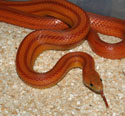 Normal Stripe Corn Snake
