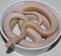 Snow Stripe Corn Snake