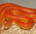 Sunglow Stripe Corn Snake