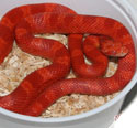 Amelanistic Bloodred Corn Snake Fire