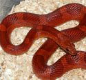 Bloodred Corn Snake