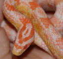Coral Snow Corn Snake